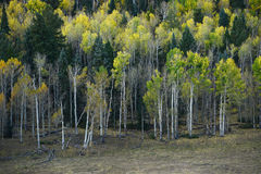 Aspen autumn Royalty Free Stock Photo