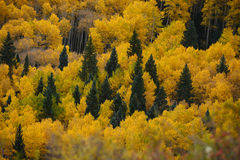 Aspen autumn Stock Photo