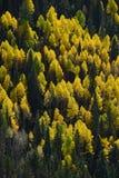 Aspen autumn Stock Photography