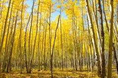 Aspen in autunno fotografia stock
