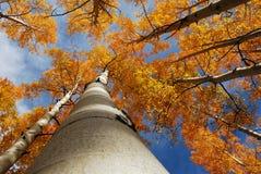 Aspen-Bäume Stockbilder