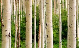 Aspen-Bäume Lizenzfreies Stockfoto