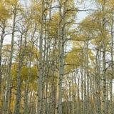 Aspen-Bäume in der Fallfarbe Stockbild