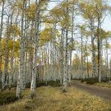 Aspen-Bäume in der Fallfarbe stockfotografie