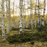 Aspen-Bäume in der Fallfarbe stockfotos