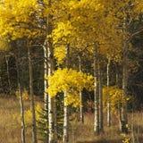 Aspen-Bäume in der Fallfarbe in Wyoming. Stockbilder