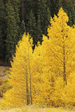 Aspen-Bäume mit Fallfarbe, San Juan National Forest, Colorado Lizenzfreies Stockfoto