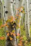 Aspen-Bäume mit rotem Strauch lizenzfreie stockfotos