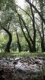 Aspen-Bäume, Pappel Stockfoto