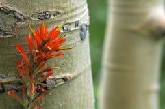 Aspen-Bäume und indischer Malerpinsel Lizenzfreie Stockfotografie