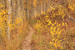 Aspen backdrop in the Wasatch Mountains. Royalty Free Stock Images