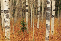 Aspen backdrop in the Wasatch Mountains. Stock Image