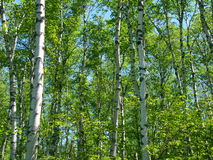 Aspen Background Royalty Free Stock Photo