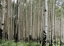 Aspen background Stock Photography