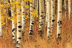 Aspen background in the Wasatch Mountains. Royalty Free Stock Photos