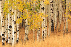 Aspen background in the Wasatch Mountains. Stock Images