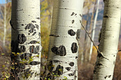 Aspen Bark. A close up image of the bark and all of its jags and scars on Aspen trunks Stock Images