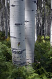 Aspen bark Royalty Free Stock Images