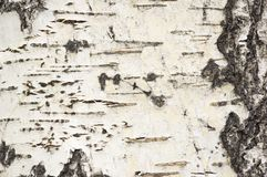 Aspen Bark Background imagens de stock royalty free