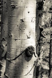 Aspen Bark Closeup Royalty Free Stock Photo