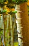 Aspen Bark and pine Needles at Fall Stock Photography