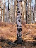 Aspen-Baum mit Augen ganz herum lizenzfreie stockfotografie