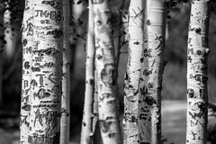 Aspen-Baumstämme schnitzten Graffiti Stockfotos