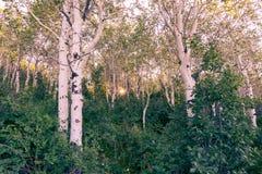 Aspen-Baumwaldung in Utah-Bergen im Frühjahr stockfotos