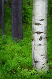 Aspen Birch Tree in Forest Royalty Free Stock Photos