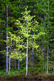 Aspen Birch Tree in Forest. With green growth Royalty Free Stock Photography
