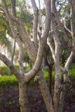 Aspen Birch Tree Stock Images