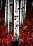 Aspen Birch Trees in de Dalingsherfst Stock Afbeeldingen