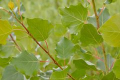 Aspen-Blätter Stockfotos