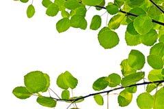 Aspen-Blätter auf einem weißen Hintergrund Stockfotos