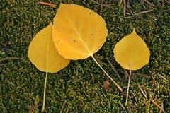 Aspen-Blätter im Moos stockfoto