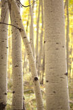 Aspen bole. Selective focus of an aspen bole during the Colorado Autumn Royalty Free Stock Images