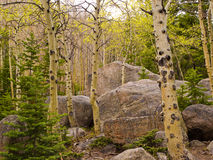 Aspen and boulders. Aspen trees with first leaves of spring growing among granite boulders in Rocky Mountain National Park, Colorado Stock Images