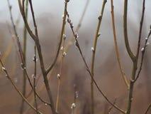 Aspen branches. Aspen branches in the spring Stock Photos
