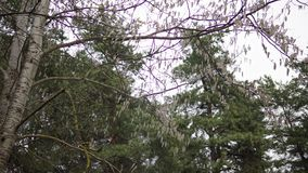 Aspen branches with earrings swaying in the wind in April spring stock video footage