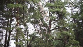 Aspen branches with earrings swaying in the wind in April spring stock video