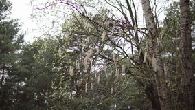 Aspen branches with earrings swaying in the wind in April spring stock footage