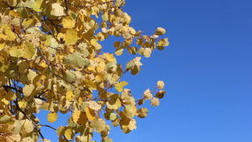 Aspen branches shaking from wind against of the blue sky stock video footage