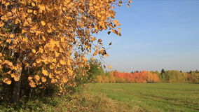 Aspen branches shaking from wind against of the blue sky. In the fall stock video footage