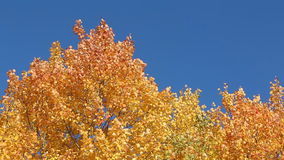 Aspen branches shaking from wind against of the blue sky. In the fall stock video