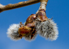 Aspen Bud Hatching Photo stock