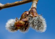 Aspen Tree Seedling Hatching Stock Photo