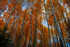 Aspen Canopy. A very colorful display of aspen changing in the fall. Taken In Northern New Mexico Royalty Free Stock Image