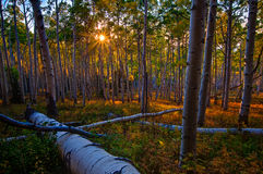 Aspen Canopy Light. I loved the way the evening sunlight penetrated the aspen forest canopy.  The soft, warm light seemed to turn even warmer and more yellow Royalty Free Stock Photos