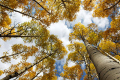 Horizontal Aspen Canopy Royalty Free Stock Photo