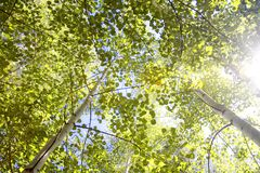 Aspen Canopy with Sun Flare. An alpine forest of aspen trees provides a canopy of green that is lit up by the bright sum of a late summer day Colorado Rocky stock photos